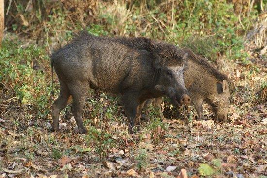 Bandipur, India: Wild pigs