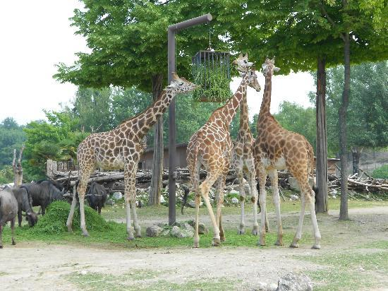 Parco Natura Viva: giraffe