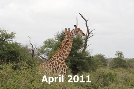 Elandela Private Game Reserve : Girafas passioned