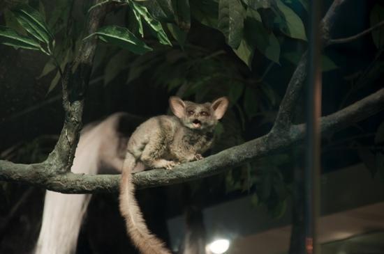 Museum Nasional Sejarah Alam Smithsonian: lemur