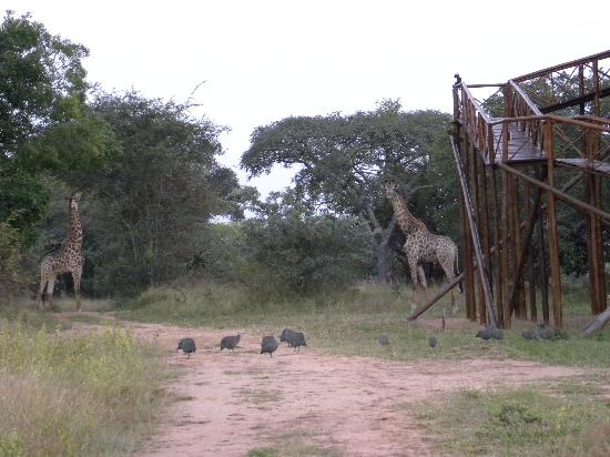 Pezulu Tree House Game Lodge: Giraffes walking around the Tree House!