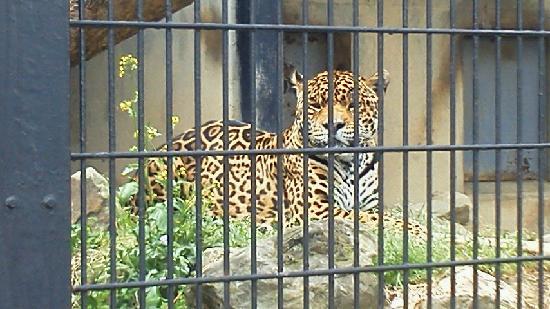 Gunma Safari Park : ジャガー