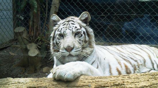 Gunma Safari Park : ホワイトタイガー