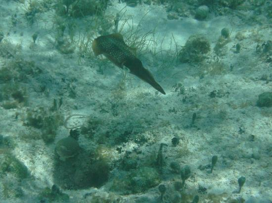 East End, Grand Cayman: caribbean reef squid at Morritts