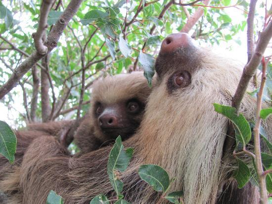 Horse Trek Monteverde: Sloths in tree