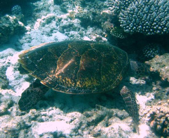 Makunudu Island: Turtle