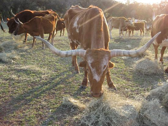 ‪‪Rancho Cortez‬: feeding the longhorns - up close‬