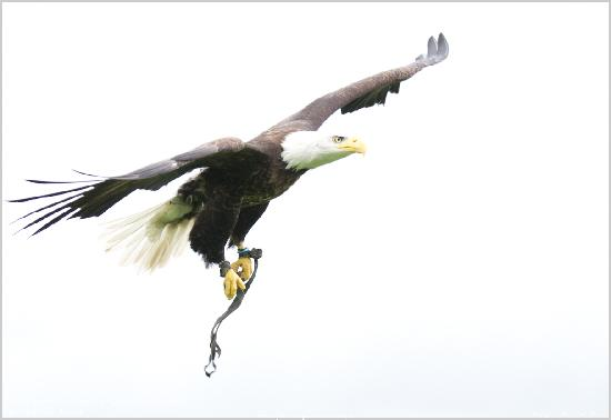 The Lake District Wildlife Park: Bald Eagle in flight