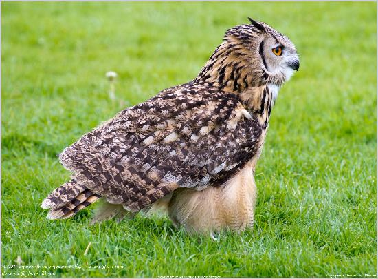 Bassenthwaite, UK: Eagle Owl