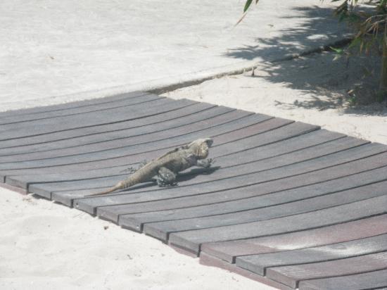 Sandos Caracol Eco Resort: animaux hotel iguane