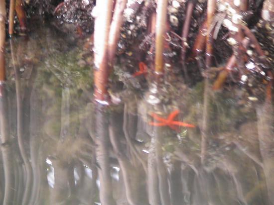 ลากูนาเดอลาเรสติงกา: Seesterne in den Mangroven-Wäldern