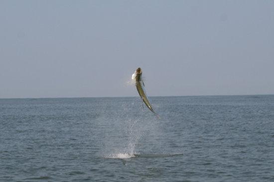 Marsh Tacky Sportfishing: tarpon  air born