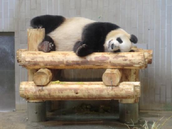 Ueno Zoo : パンダ! 寝てるけど(笑)