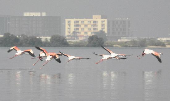 Umm Al Quwain, United Arab Emirates: Flamingos
