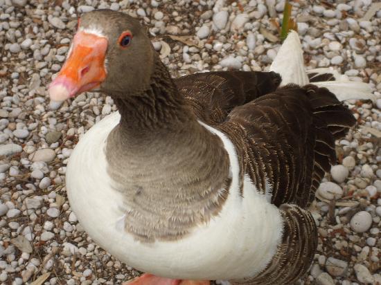 Strand von Ölüdeniz (Blaue Lagune): One of the lovely geese that had bricks thrown at them