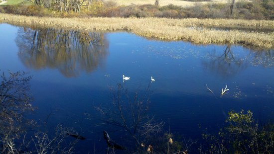 Nashua, NH: Swans in the marsh