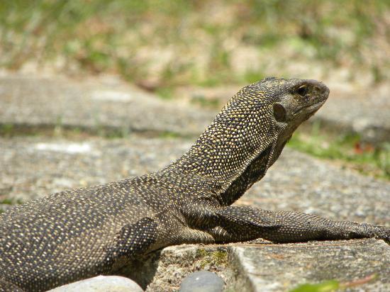 Perhentian Island Resort: Local wild life