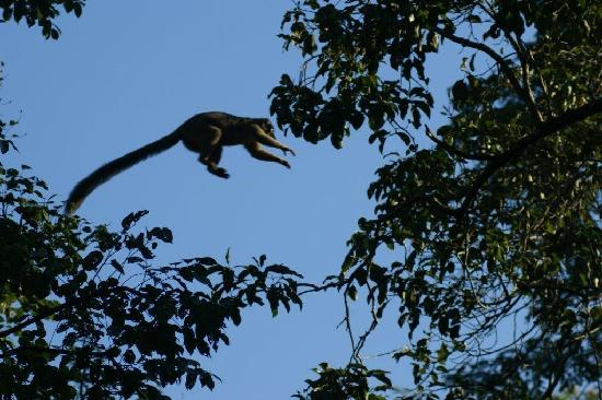 Anjajavy L'Hotel: leaping brown lemur
