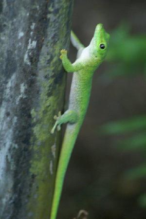 Anjajavy L'Hotel: giant green gecko