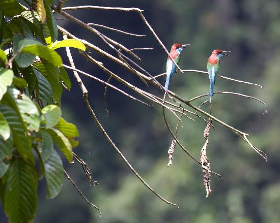 Borneo Rainforest Lodge: Beautiful birds found at the lodge.