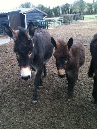 Mallow, Ireland: Two donkeys at the sanctuary