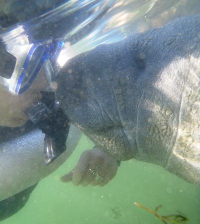 Snorkel With The Manatees : Baby Manatee giving me kisses