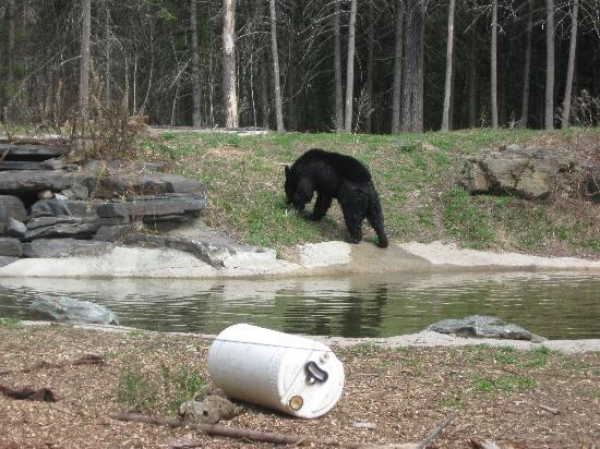 North American Bear Center: Lucky plays by the pond.