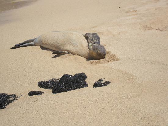 Poipu Beach Park: one of the monk seals