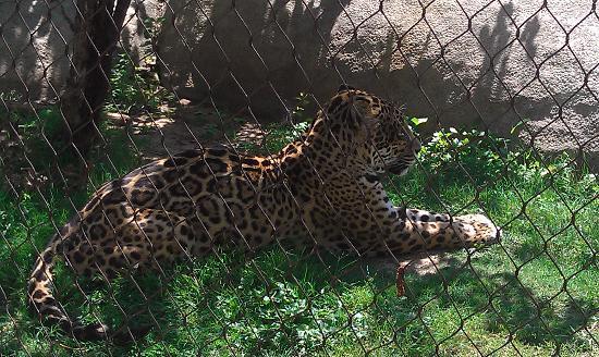 Waco, TX: Jaguar