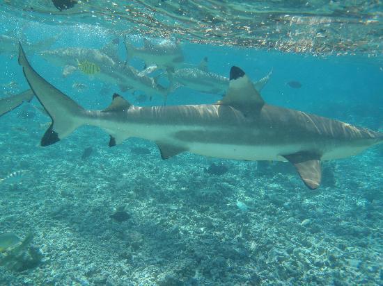 Bora Bora Pearl Beach Resort & Spa: Escursione con gli squali