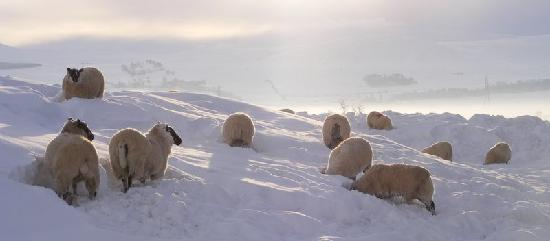 Northumberland National Park, UK: Sheep feeding in the snow