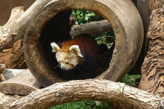 Arona, Spain: Red panda