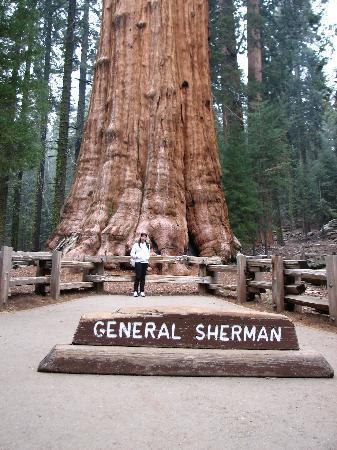 General Sherman Tree: generalle sherman