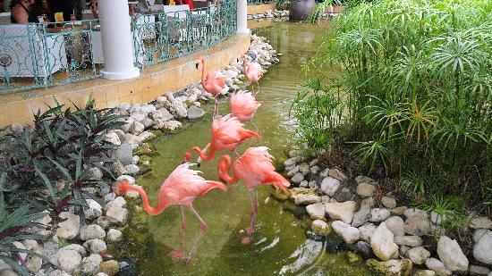 Iberostar Costa Dorada: flamingoes