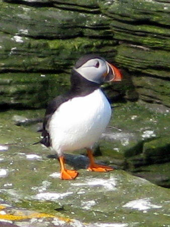 Deerness, UK: Opportunity to photograph a real puffin