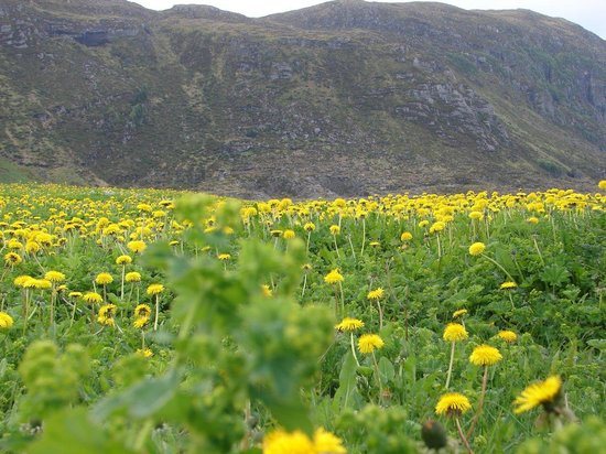 Alesund, Norvegia: The sea of dandelions near the lighthouse