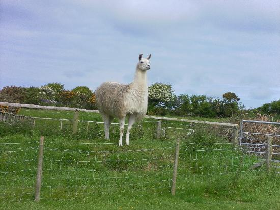 Castallack Farm : Llama who guards the lambs at Castallack
