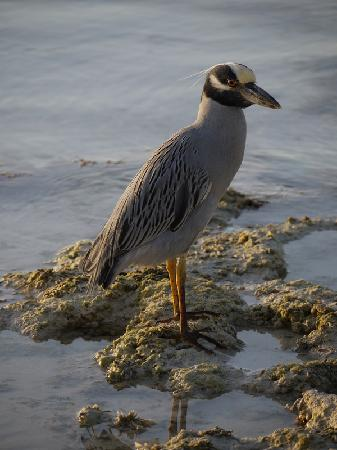 Andros: Tiamo's night heron