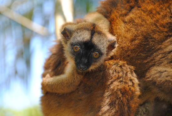Un bébé maki de Mayotte