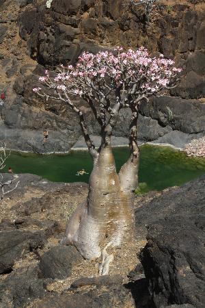 Socotra Island, Yemen: Fioritura degli alberi bottiglia