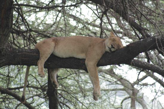 Lake Manyara National Park, แทนซาเนีย: lioness up a tree!