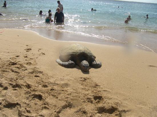 Laniakea Beach: Honu at the beach!