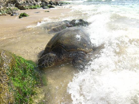 Laniakea Beach: Honu!