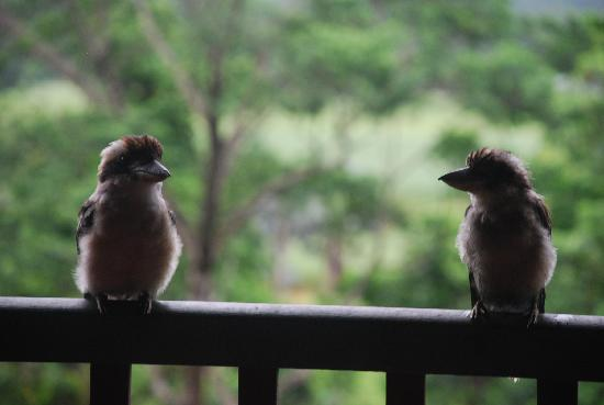 Mossman Gorge Bed and Breakfast: The local birds