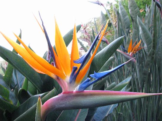 Madeira Botanical Garden : Bird of Paradise flower