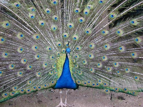 Madeira Botanical Garden : Peacock