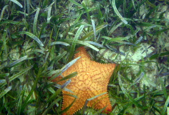 Kayak Utila: starfish in the water off the beach area