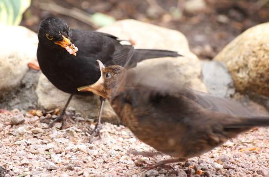 The Dulaig: Blackbird feeding young