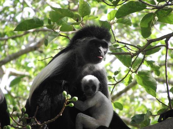 Pinewood Beach Resort & Spa: colobus monkeys at hotel