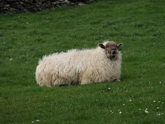 Castlewood House: Sheep everywhere!